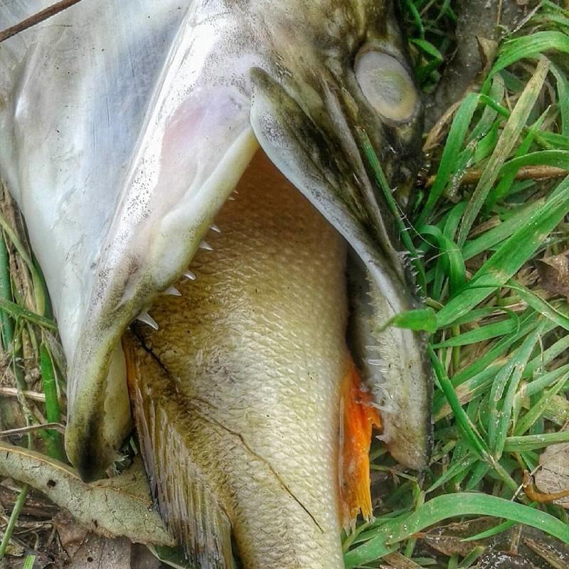 Рыбы тоже бывают жадными Зажали, жадность, жмоты, не отдам, прикол, скупердяи
