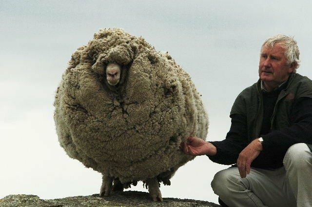 Так выглядит овца, которую не стригли 6 лет (слева) интересно, красиво, фото