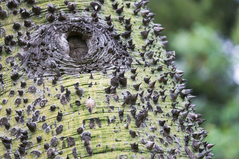 """4. На вас когда-нибудь нападало дерево? Это растение с колючками называют """"дерево-динамит"""" или """"взрывающееся дерево"""" интересно, любопытно, обо всем на свете, полезно, прикольно, факты, фото"""