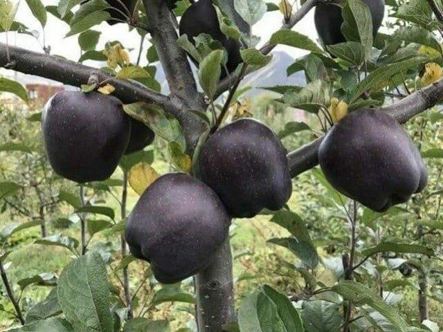 2. В Тибете выращивают черные алмазные яблоки. Внутри они такого же цвета, как обычные интересно, любопытно, обо всем на свете, полезно, прикольно, факты, фото