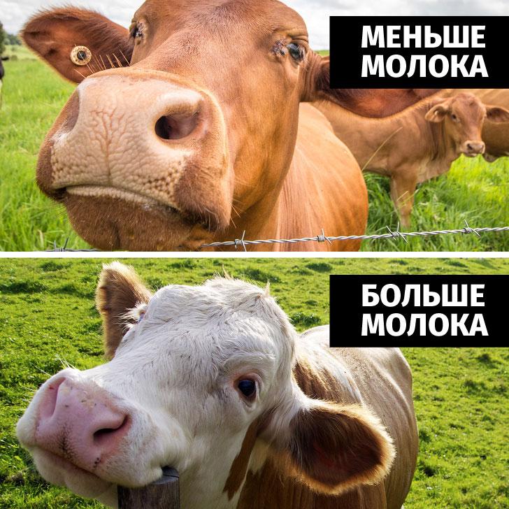 В России коров погружают в виртуальную реальность,они дают больше молока